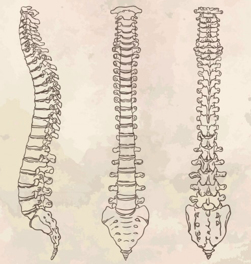 columna humana vista de 3 angulos distintos