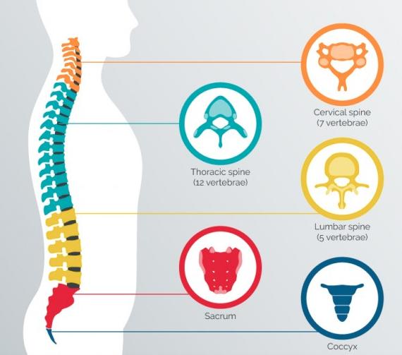 infografico de columna humana y vértebras